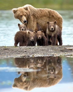 This brown bear sow (her name is Milkshake/bear #236) and 4 cubs photograph was captured in Katmai National Park, Alaska (7/10).  This photograph is protected by the U.S. Copyright Laws and shall not to be downloaded or reproduced by any means without the formal written permission of Ken Conger Photography.
