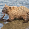 Katmai National Park Brown Bear Cub