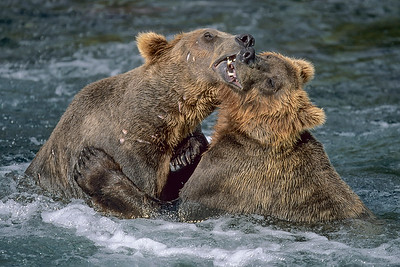 This Grizzly Bear fight photograph was captured in Katmai National Park in Alaska (7/04).   This photograph is protected by the U.S. Copyright Laws and shall not to be downloaded or reproduced by any means without the formal written permission of Ken Conger Photography.