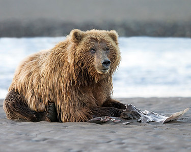 This photograph of a Brown Bear enjoying a skate (that we watched remove from the water) dinner was captured  in Lake Clark National Park, Alaska (7/12).  This photograph is protected by the U.S. Copyright Laws and shall not to be downloaded or reproduced by any means without the formal written permission of Ken Conger Photography.