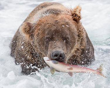 Katmai National Park Brown Bear with Sockeye Salmon
