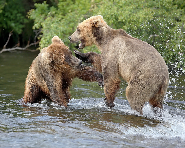 This photograph of clashing Brown Bears was captured at Katmai National Park (7/06).   This photograph is protected by the U.S. Copyright Laws and shall not to be downloaded or reproduced by any means without the formal written permission of Ken Conger Photography.