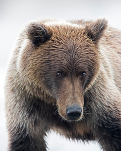 Lake Clark Brown Bear