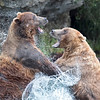 Katmai National Park clashing Brown Bears