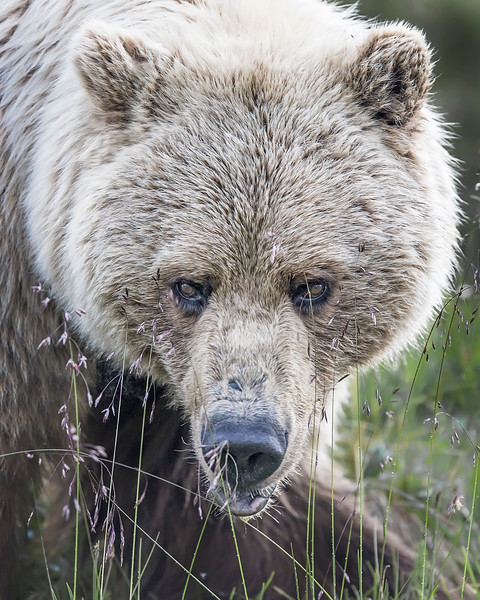 This Grizzly Bear photograph was captured along the park road in Denali National Park, Alaska (6/10).     This photograph is protected by the U.S. Copyright Laws and shall not to be downloaded or reproduced by any means without the formal written permission of Ken Conger Photography.