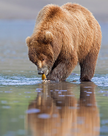 This early morning photograph of a Brown Bear with a recently dug clam was captured on the tidal flats of Lake Clark National Park, Alaska (7/12).  This photograph is protected by the U.S. Copyright Laws and shall not to be downloaded or reproduced by any means without the formal written permission of Ken Conger Photography.