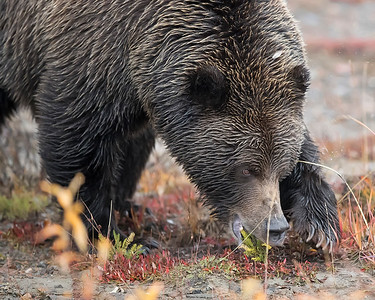 Denali National Park Grizzly Bear