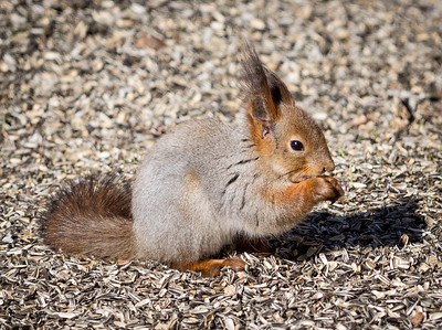 Red Squirrel with his winter coat