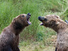 The business end of two bears.  Although most bear confrontations (like the sow at right trying to drive this male away from her cubs) end with no serious injury to either bear, episodes like this certainly revealed the speed and fury with which these bears respond to threats.  I would NOT want to be on the receiving end of their teeth and claws!