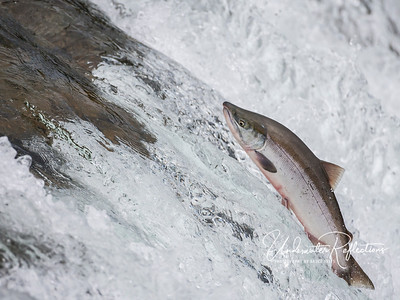 One of the estimated 2 million sockeye salmon attempting to make their way up the Brooks River to spawn. While the bears eat thousands of them, thousands more still make it upstream to perpetuate the species.