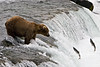 From his position atop the falls, this fellow watches salmon jumping, never moving his feet, but simply waiting for one to jump within reach of his mouth...either in the air or into the water at his feet.