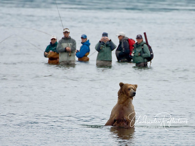 The abundance of salmon attracts many fly-fishermen, and the bears seem totally uninterested in them. The fishermen, however, are bound by the same 50-yard rule as other visitors, so anytime a bear comes within 50 yards, they must group together and back away until the bear leaves. If they have a fish on the line when a bear starts towards them, they must immediately cut the line to avoid bears learning that fishermen=fish.