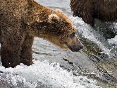 "The next few photos are just other bears patiently waiting for dinner to ""arrive."""