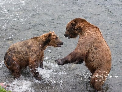 Two male bears tussle over a fish that the bear at left caught and was eating (you can see it in the bottom left corner of the photo).  This skirmish lasted only a few seconds, but showed how quickly the big, lumbering bears could turn into formidable half-ton fighters.