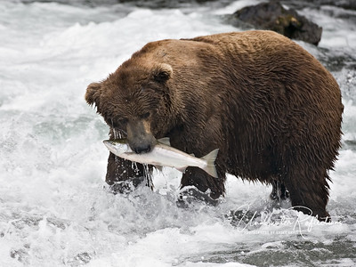 This big male doesn't look like he needs another 10-pound salmon, but he and the other bears are driven to gorge themselves over an over again while the sockeye run lasts.  These big males at the falls caught and ate a salmon like this every 5 minutes or so... hour after hour!