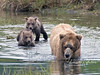 Cubs jump right in to swim their way through water that is too deep for them to walk across like their mother does.