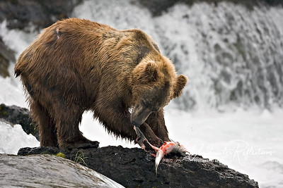 Another big male peels the skin from a freshly caught salmon.