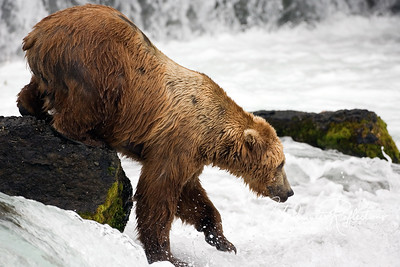 I was surprised at how sure-footed the bears were on rocks that had to be slippery.  Seldom did we see one slip.