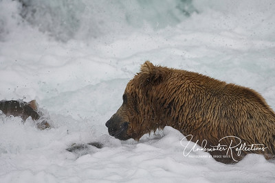 Stunned salmon that jumped too horizontally and hit the rocks behind the falls drift back on the surface, where a big male bear waits.  Most of the big males at the falls were amazingly efficient at getting the most fish with the least effort expended.  In this case, stunned fish literally floated right up to him!