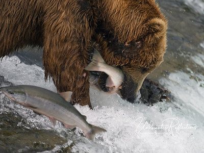 Although some bears catch fish in the air, most are actually grabbed when they jump into the water at the bear's feet.