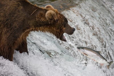 Come to papa!  This fellow is waiting with open mouth for a salmon headed his way.