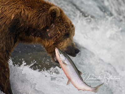 When salmon jump, many of them jump almost vertically so that they reach the peak/apex of their jump and then fall back into the water.  When that apex occurs near a bear's mouth...