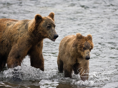 A big male interrupts his salmon feasting to court a female (females are roughly half the size of males).