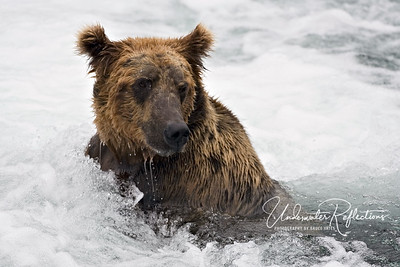 The brown bears of Brooks were amazingly comfortable in the icy water, seemingly impervious to the cold, and sometimes even acting as if they were relaxing in a jacuzzi.