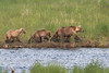 A sow and two cubs walk along the shore in the marshy area near the bridge.  Cubs remain with their mothers for 3-4 years (these appear to be 2-3 yrs old).  Mothers protect cubs from adult males, which will kill and eat cubs if/when they have a chance.  As a result, sows with cubs are extremely alert and defensive.  For that reason, park visitors are required to maintain a distance of at least 100 yards from any sow with cubs, as compared to the 50 yard distance with other bears.