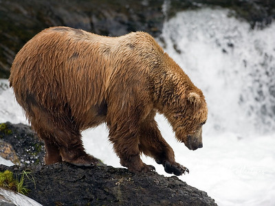 "Another big male considering climbing down to the pools below the falls.  Notice how ""well-fed"" he looks; these bears pack on hundreds of pounds during the few weeks when salmon are running."