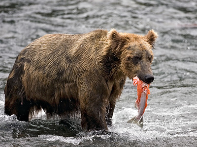 What's left after the prime bits are gone.  Note how this fish is headless and mostly skinless, either the remains of this bear's catch after he has eaten the best parts, or a carcass he has picked up after a bigger male has eaten the most nutritionally valuable parts.