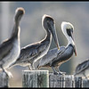 Brown Pelican breeding plummage  2011