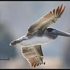 Brown Pelican   2011
