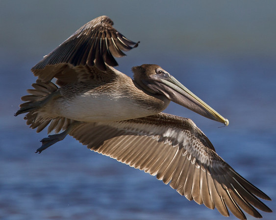 This photograph of a immature Brown Pelican was captured in the Merritt Island National Wildlife Refuge, Florida (1/11).     This photograph is protected by the U.S. Copyright Laws and shall not to be downloaded or reproduced by any means without the formal written permission of Ken Conger Photography.