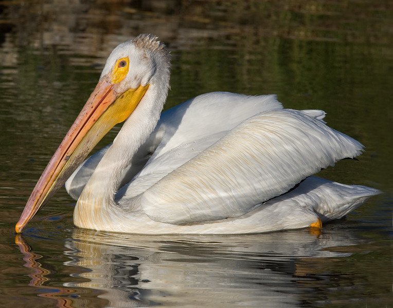 This photograph of a White Pelican was captured in Bear River National Wildlife Refuge, UT (6/07).   This photograph is protected by the U.S. Copyright Laws and shall not to be downloaded or reproduced by any means without the formal written permission of Ken Conger Photography.