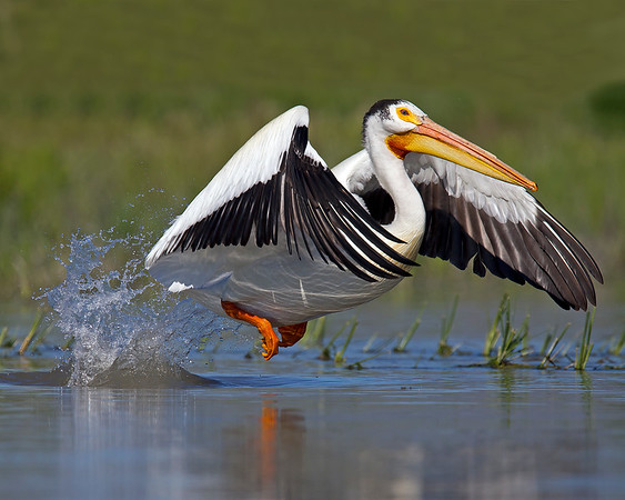This photograph of a taking off American White Pelican was captured in Bear River National Wildlife Refuge, Utah (6/11).    This photograph is protected by the U.S. Copyright Laws and shall not to be downloaded or reproduced by any means without the formal written permission of Ken Conger Photography.