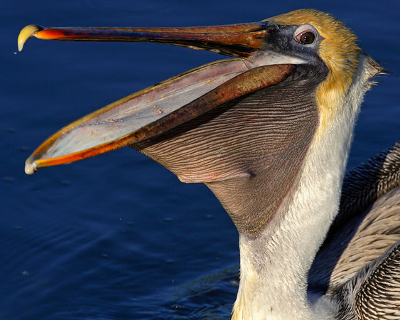 This Brown Pelican photograph was captured at Everglades National Park (2/07).