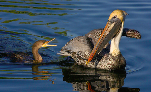 This Cormorant chasing a Brown Pelican photograph was captured at Everglades National Park (2/07).