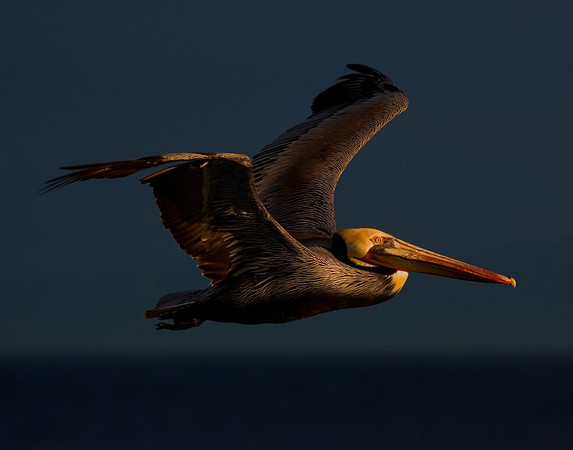 This late afternoon Brown Pelican photograph was captured in La Jolla, California (1/08). This photograph is protected by the U.S. Copyright Laws and shall not to be downloaded or reproduced by any means without the formal written permission of Ken Conger Photography.