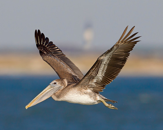 This Brown Pelican photograph was captured in the Cape Hatterus, NC area.  Framed behind the pelican's upward wings is the Bodie Lighthouse (10/11). This photograph is protected by the U.S. Copyright Laws and shall not to be downloaded or reproduced by any means without the formal written permission of Ken Conger Photography.