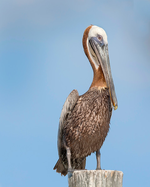 This photograph of a Brown Pelican was captured on Sanibel Island, Florida (7/15). This photograph is protected by International and U.S. Copyright Laws and shall not to be downloaded or reproduced by any means without the formal written permission of Ken Conger Photography.