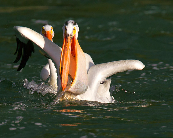 This photograph of an American White Pelican with a just caught cutthroat trout was captured in Grand Tetons National Park, Wyoming (6/11).   This photograph is protected by the U.S. Copyright Laws and shall not to be downloaded or reproduced by any means without the formal written permission of Ken Conger Photography.