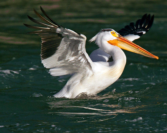 This photograph of an American White Pelican was captured in Grand Tetons National Park, Wyoming (6/11).   This photograph is protected by the U.S. Copyright Laws and shall not to be downloaded or reproduced by any means without the formal written permission of Ken Conger Photography.