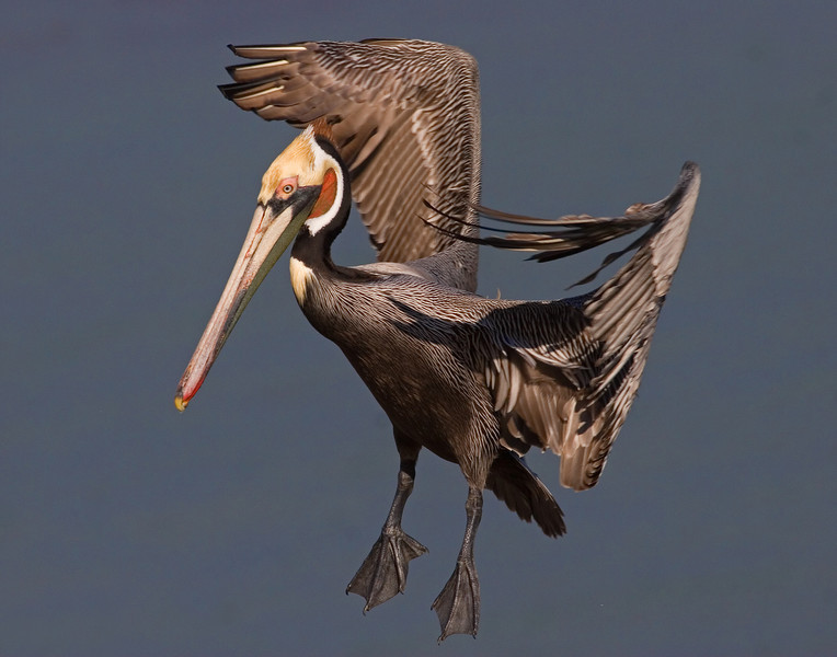 This Brown Pelican photograph was captured in La Jolla, California (1/08). This photograph is protected by the U.S. Copyright Laws and shall not to be downloaded or reproduced by any means without the formal written permission of Ken Conger Photography.