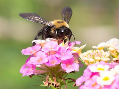 Dramatic carpenter Bee