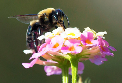 Carpenter Bee looking for just the right lantana bloom