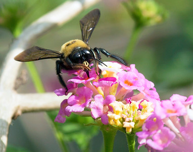 Carpenter Bee ready for his closeup