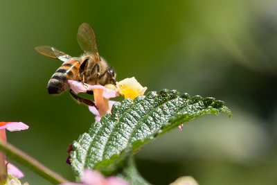 Honey bee in an isolated lantana bloom