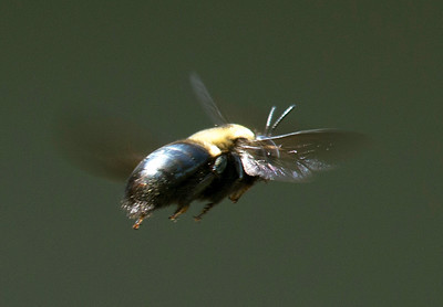 A carpenter bee in flight -- looking to improve our house, I fear.
