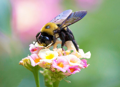 Carpenter Bee doing some serious feeding
